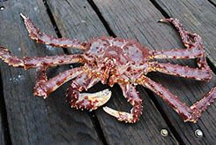 DuCoq - King Crab - Granchio Reale - 21